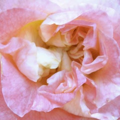 Heart of the rose 4 (floral realist  flower oil painting canvas petals rose)
