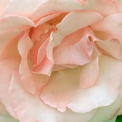 Pink rose 2 (floral realist flower coral oil painting canvas petals white)