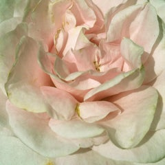 Pink rose (sage moss green floral realist flower coral oil painting petals)