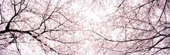 Kauzan II, Okurimono - Large Panoramic Photography, Cherry blossom, Japan