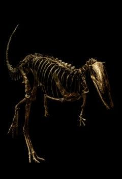 Elaphrosaurus Bambergi