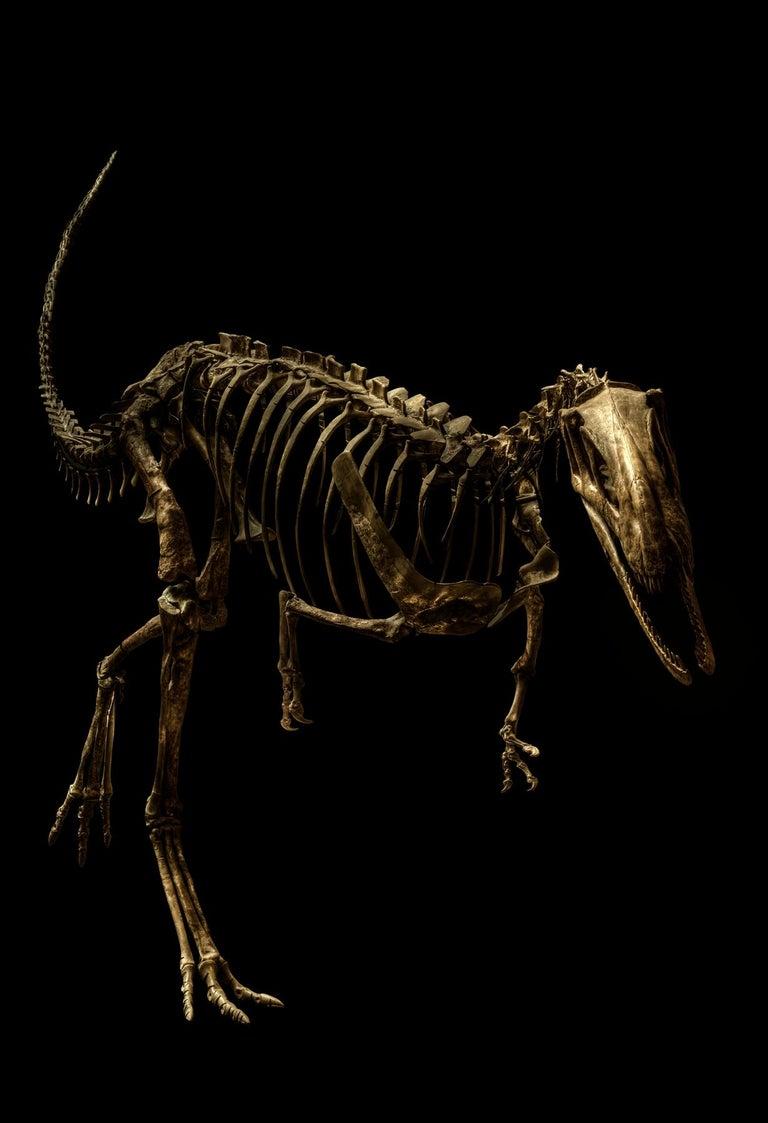 Christian Voigt Color Photograph - Elaphrosaurus Bambergi