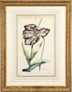 """La Nouvelle"" Tulip Hand-Colored Engraving"