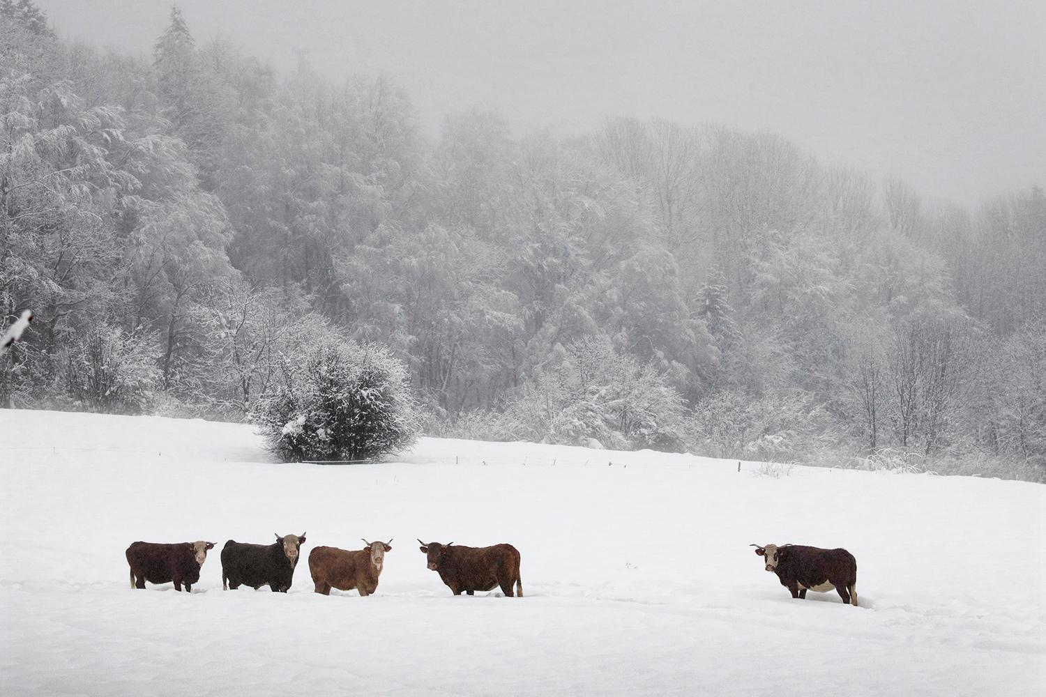 Cows in the snow by Christophe Jacrot - winter landscape and animal photography