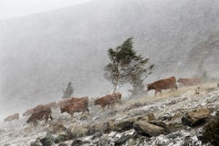 Cows in the Storm by Christophe Jacrot - Landscape Photography, mountains