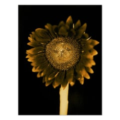 Sunflower, Pigment Print, Contemporary Art, 21st Century
