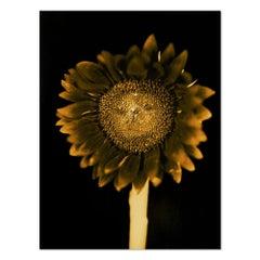 Sunflower, Pigment Print, Contemporary Art, 21st Century