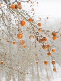 Frozen Apples, Rockport, Maine