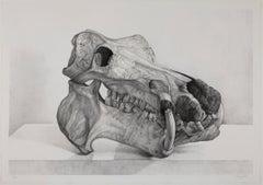 Craneo hipopotamo (hippopotamus skull)