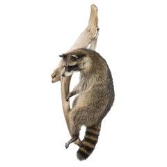 Climbing Raccoon Taxidermy