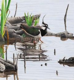 Spring Lapwing - bird wildlife contemporary oil painting