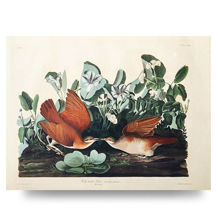 John James Audubon, Key West Dove, 1833