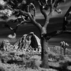 """Landscape Photography Square Series: """"Joshua Tree Old"""""""