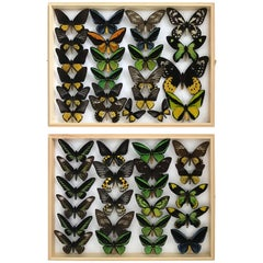 Collection of Rare Birdwing Butterflies