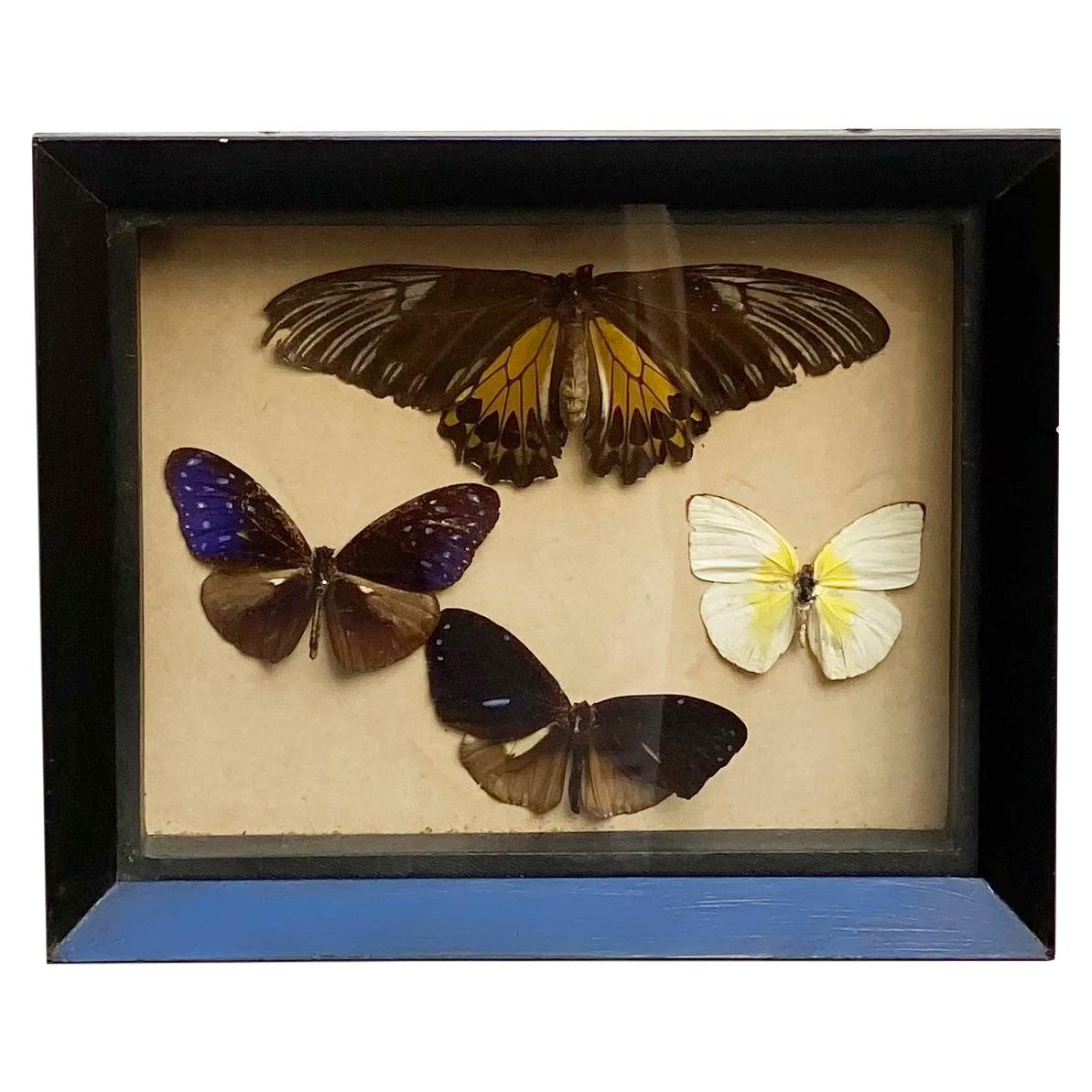 Collections of Brazilian Royal Butterflies in Taxidermy from the 60s