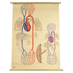 Colored Anatomical Didactic Plate from Germany 1930s