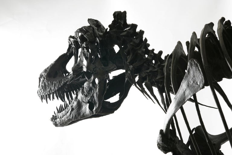 Complete Life-Size Dinosaur (Gorgosaurus) Skeleton Cast In Excellent Condition For Sale In London, GB