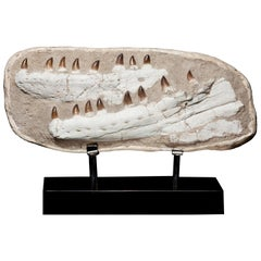Complete Mosasaurus Jaw Section dating 90 Million Years Old from Morocco