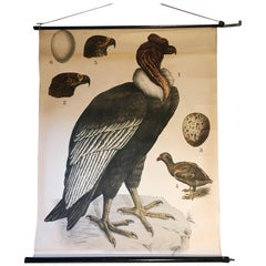 Condor Educational Chart, Ehgleders Wall Chart, J. F. Schreiber