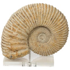 Contemporary Display of Nautilus Fossil