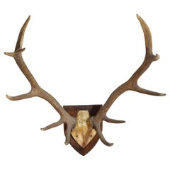 Continental Red Deer Horn Mount, Early 20th Century