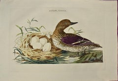 "An 18th Century Hand-colored Nozeman Engraving ""Anas Crecca"", Eurasian Teal Duck"