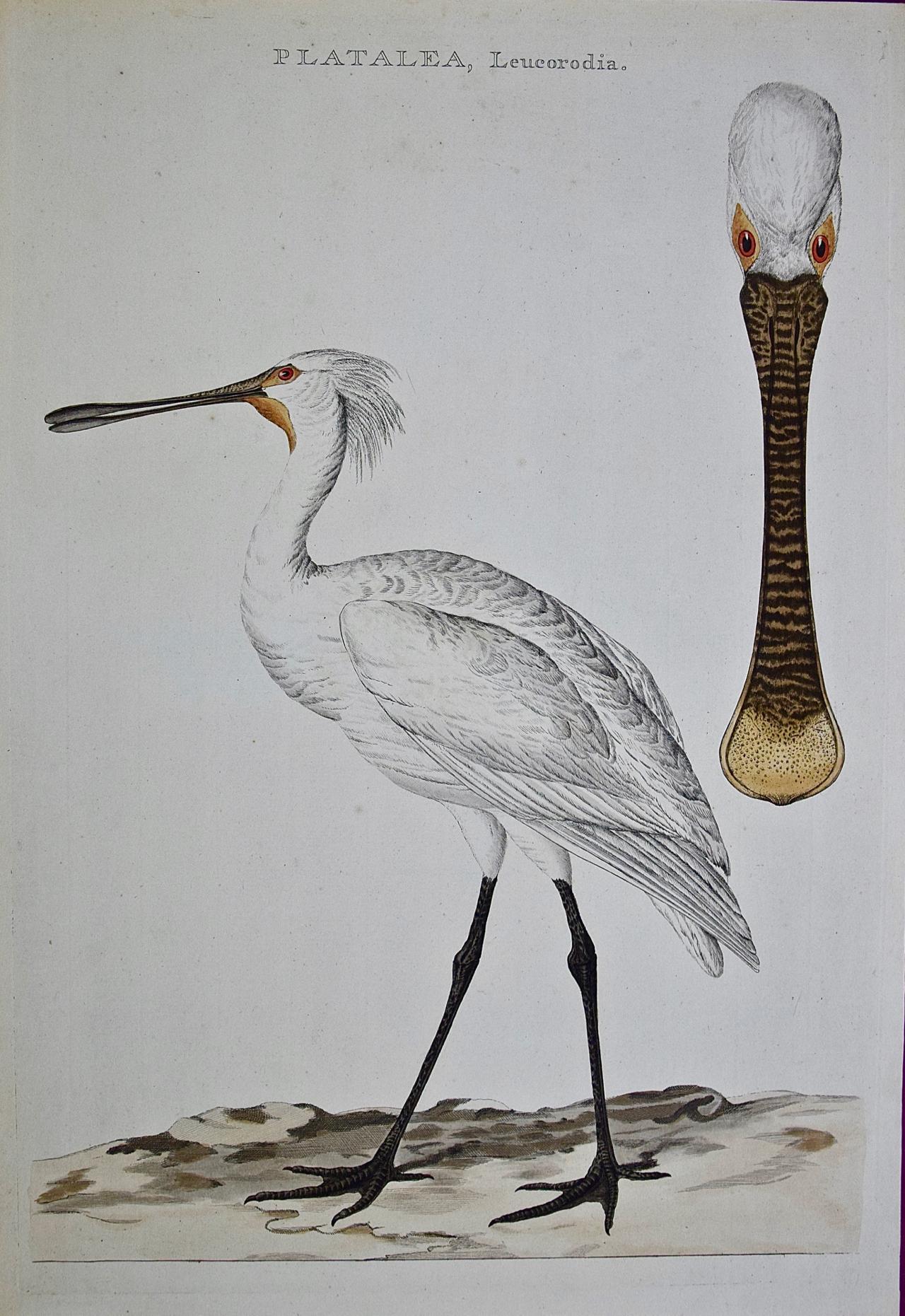 "An 18th Century Hand-colored Nozeman Engraving ""Platalea leucorodia"" (Spoonbill)"