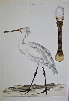 "An 18th Century Hand-colored Nozeman Engraving ""Platalea leucorodia"" (Spoonbill)"