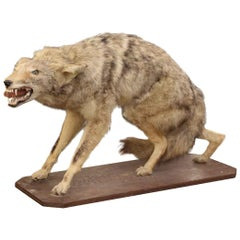 Coyote Taxidermy with a Really Mean Look