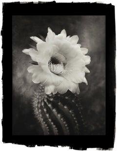 Cy DeCosse, Argentine Giant, 2012 from Midnight Garden, platinum palladium print