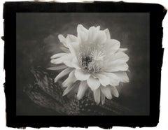 Cy DeCosse, Hedgehog Cactus, 2012 from Midnight Garden, platinum palladium print