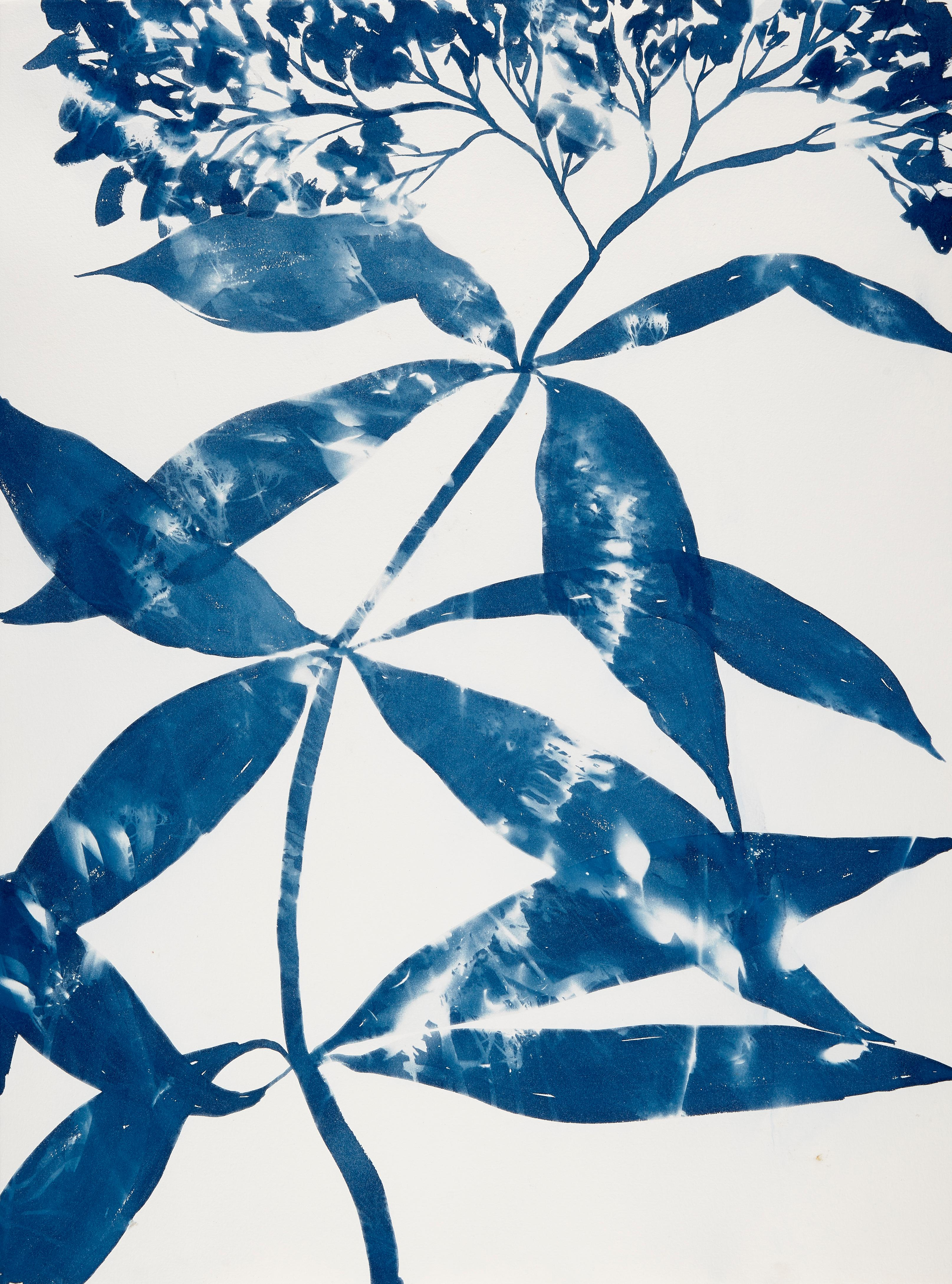 Boneset, Botanical,  Floral, Cyanotype, Blue, Work on Paper, Flowers, Nature