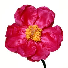 Cytherea Peony by Michael Zeppetello