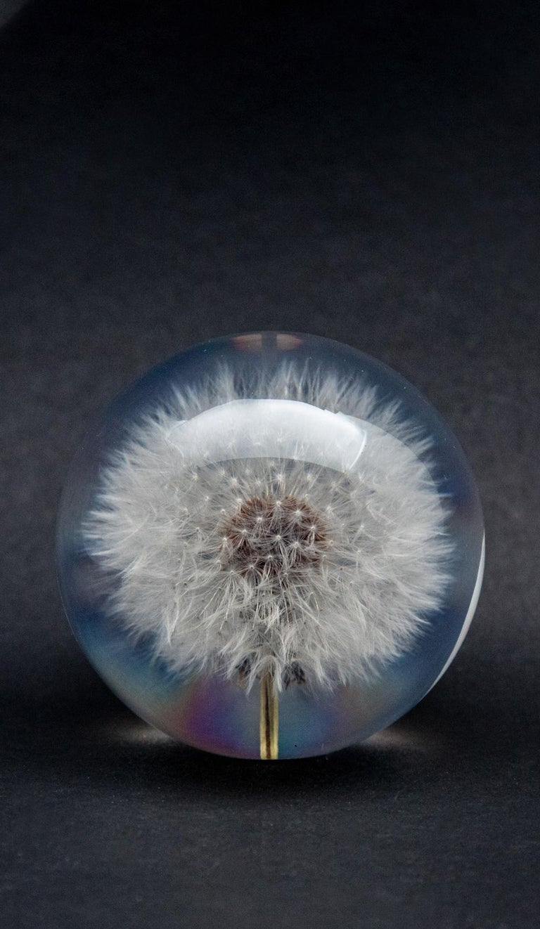 Dandelion paperweight. Created from an encased, natural white fluffy dandelion. Measure: 3