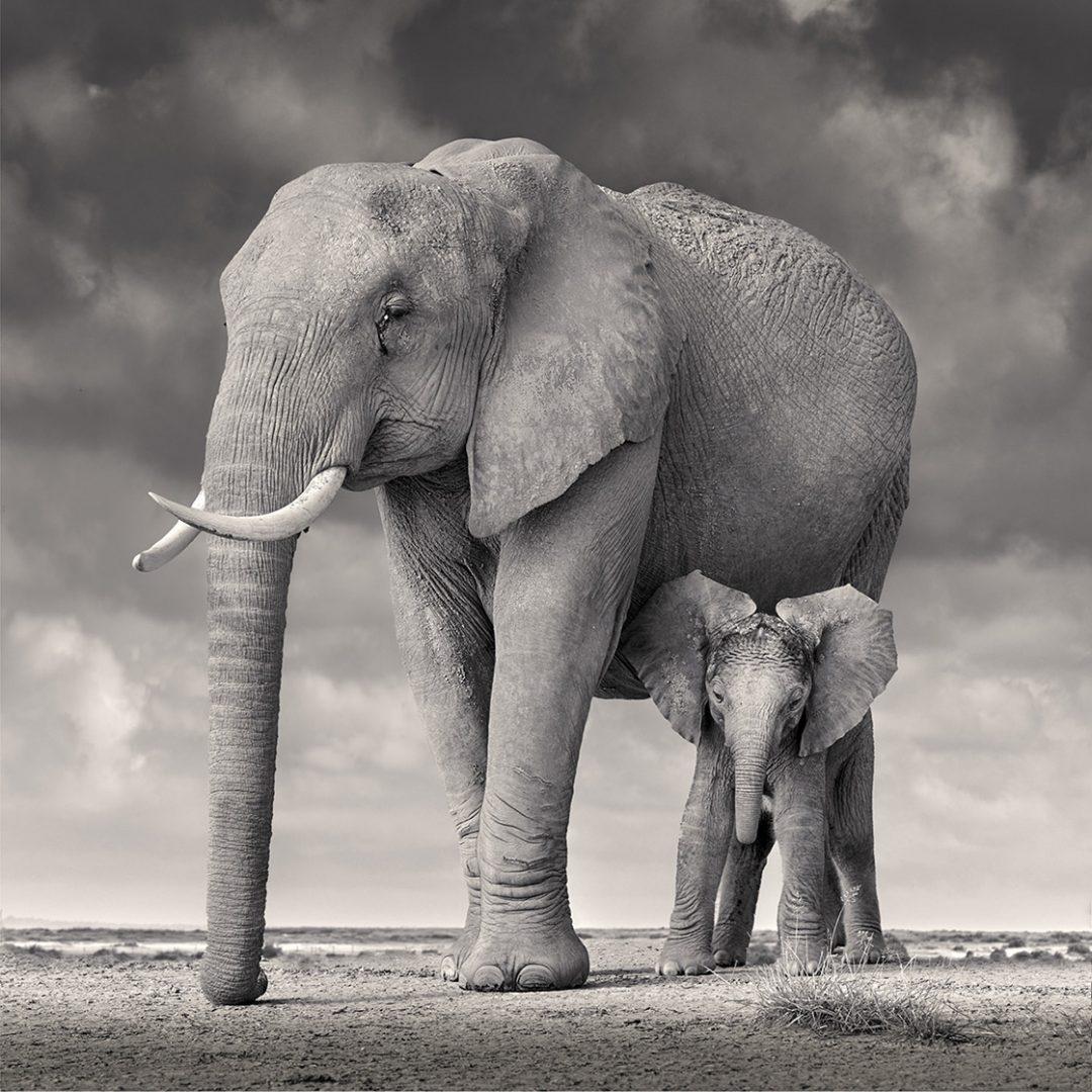 David Burdeny - Elephant mother and calf, Amboseli, Africa (BW Photograph)