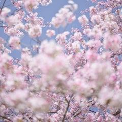 David Burdeny - Sakura 9, Kyoto, Japan, 2019 - Bloom series