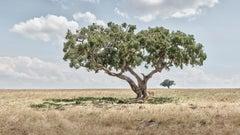 Lion cubs under Acacia tree, Maasai Mara, Kenya, Africa
