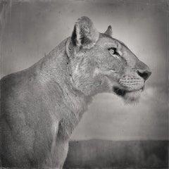 David Burdeny - Lioness in Profile, Serengeti, Tanzania (Photograph)