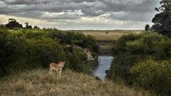 One eyed Lion, Maasai Mara, Kenya, Africa