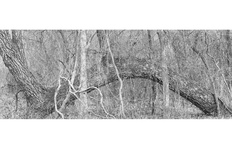 David H. Gibson Black and White Photograph - Tree, Little Wichita River Valley, Texas