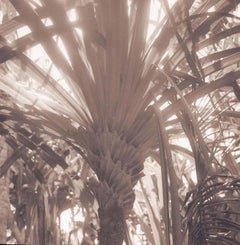 Palm (Sepia Toned Landscape of a Tree in Tonga)