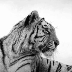 Tiger 1, David Hunt, Animal Art, Realist Print, Affordable Artwork