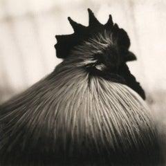El Duque (Rooster)