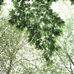 Traditional 16 - Tree branches w/ lush green leaves against white sky, square