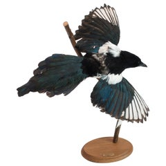 Magpie Mounted Taxidermy Specimen
