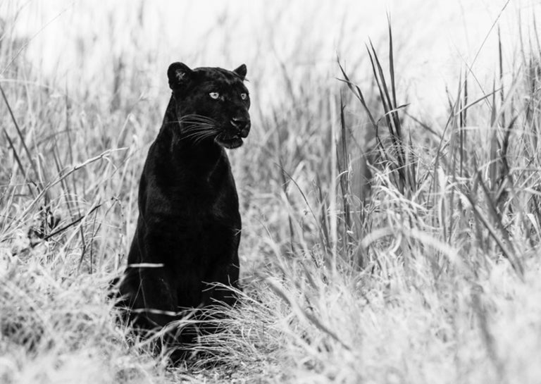 David Yarrow Black and White Photograph - Bagheera