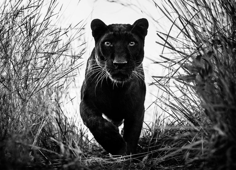 David Yarrow Animal Print - Black Panther, Archival Pigment Print, 2018, ed. 12 + 3 AP, 180 x 236 cm