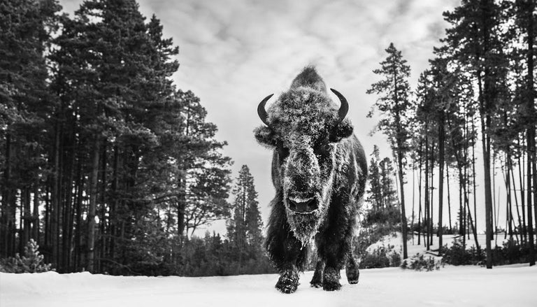 David Yarrow Black and White Photograph - Forest Grump