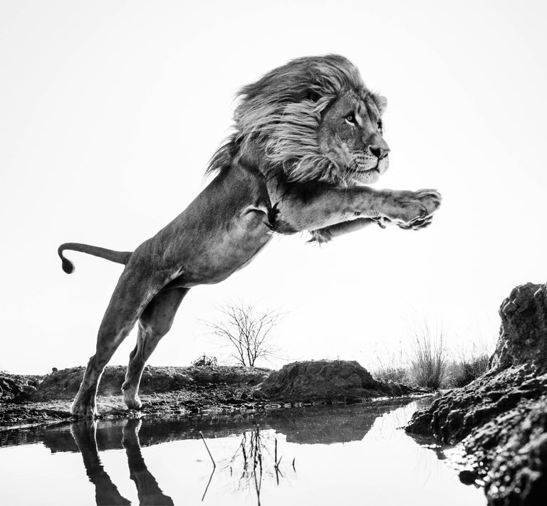 David Yarrow Black and White Photograph - Lion King