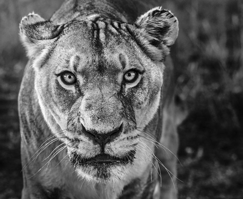 Nala, Animal Print, Black and White Photography